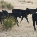 New Calves, Dairy Queen & Multiple Lives